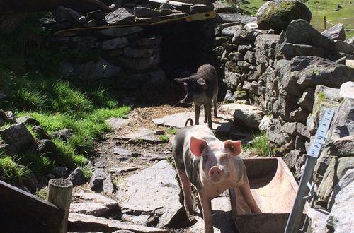 Schweinchen im Zillergrund