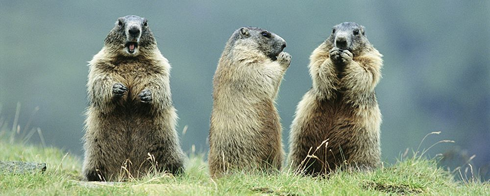 Observe marmots with the ZillerSeasons hiking guides