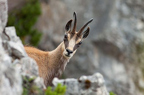 Chamois are shy animals that prefer shaded areas