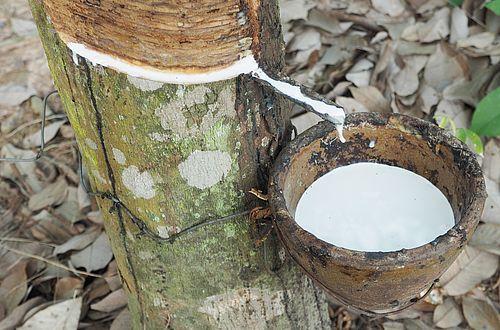Aus dem Milchsaft (Latex) des Kautschukbaums wird Naturkautschuk gewonnen.